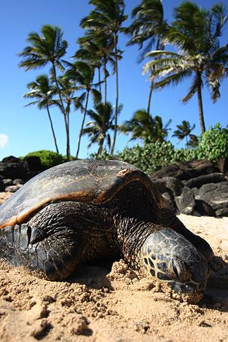 Green Sea Turtle Laniakea Beach Hawaii