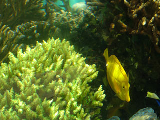 Yellow Tang & Living Coral