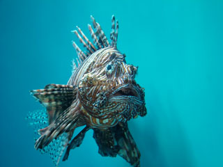 South Pacific Turkeyfish