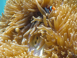 Anemonefish and Living Corals