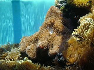 Anemonefish Weaving between Corals