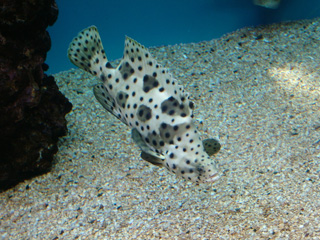 Spotted Pufferfish