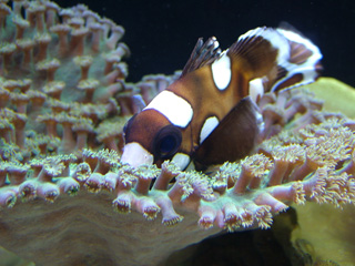 Anemonefish and Zoanthids Coral