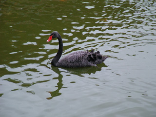 A black swan living at Byodo-in Temple.
